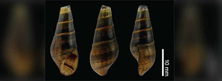 a_brunneum_holotype